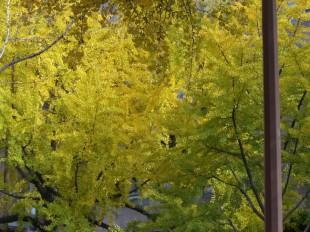 大阪 御堂筋のイチョウ並木の紅葉