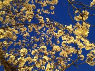 大阪の毛馬桜之宮公園の桜